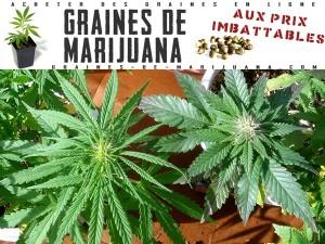 Cannabis Indica ou Cannabis Sativa?