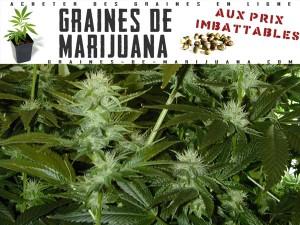 La-floraison-de-la-marijuana