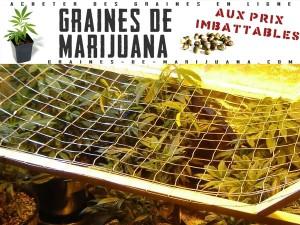 SCROG-de-cannabis-avec-grillage
