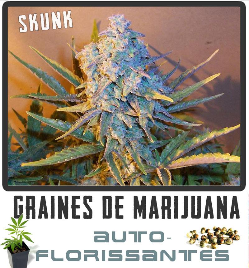 marijuana graines de marijuana