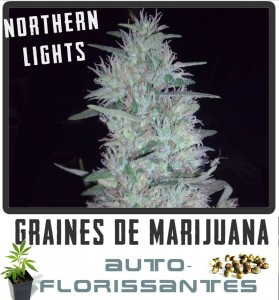 cannabis auto florisantes northern-lights