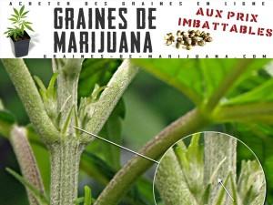 cannabis-commence-a-fleurir
