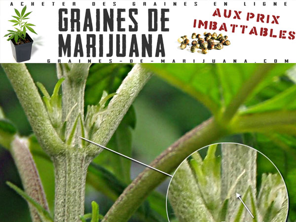 Bourgeons graines de marijuana for Plante cannabis interieur