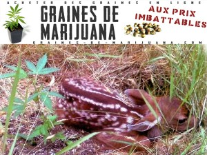 cannabis-en-extetrieur
