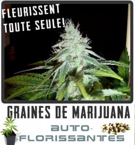 cannabis-fleurissent-toute-seule