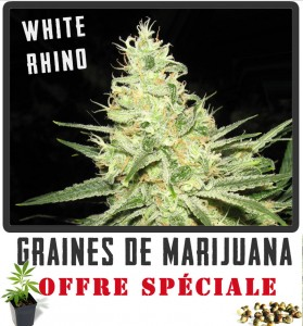 cannabis à grand rendement