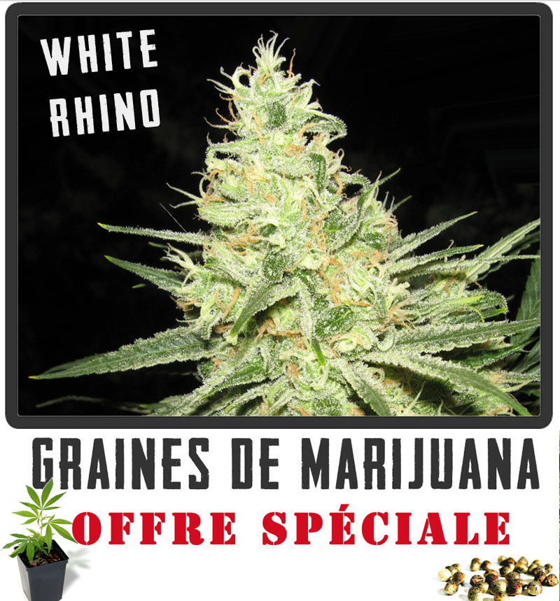 Les variétés de cannabis avec le meilleur rendement Graines de Marijuana