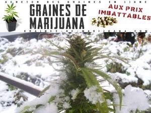 Cannabis en extérieur pendent l'hiver
