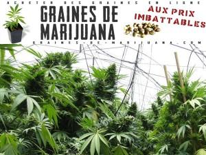 Les plantes de marijuana sousfeuille plastique