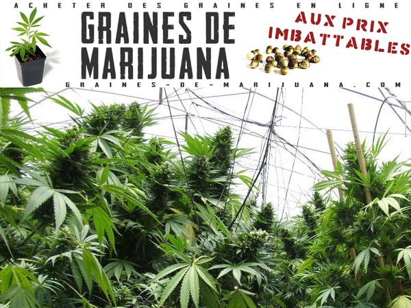 Ext rieur graines de marijuana for Culture cannabis exterieur hiver