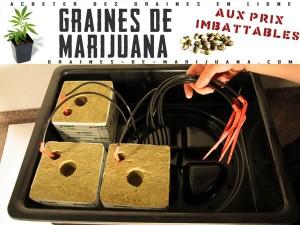 cannabis-sur-la-laine-de-verre