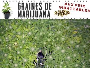 ecran vert de cannabis