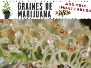 fleur-de-cannabis-pret-recolte