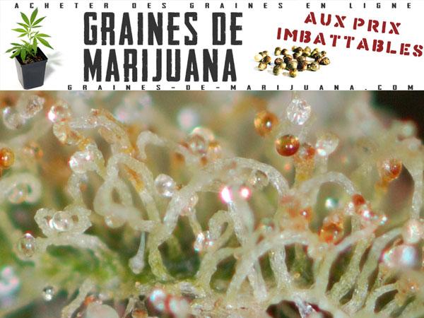 la floraison de la marijuana graines de marijuana