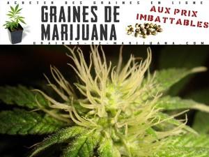 floraison-marijuana