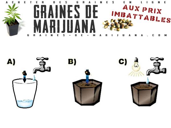 Fair germer les graines de cannabis dans l'eau