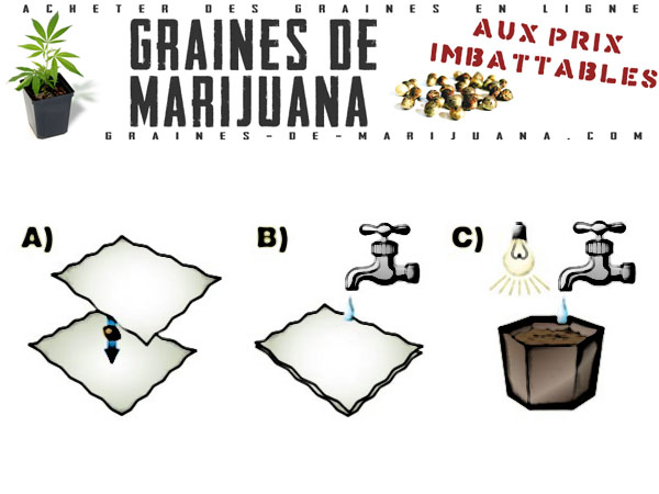Faire germer les graines de cannabis dans une serviette en papier