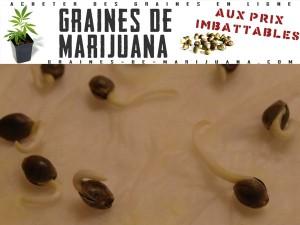 germer les graines dans une serviette en papier