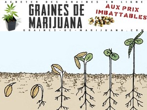 La germination de graines de cannabis