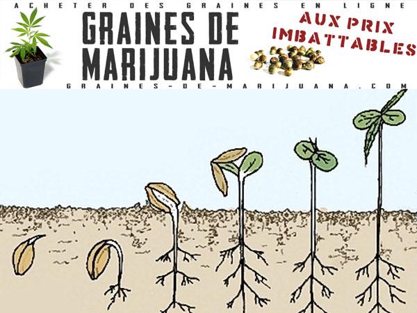 Guides de culture du cannabis graines de marijuana for Graine de weed exterieur