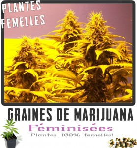 F minis e graines de marijuana for Graine de cannabis femelle interieur