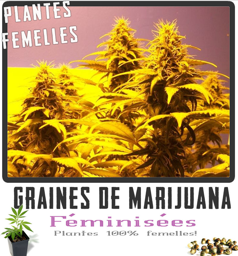Graine cannabis femelle interieur 28 images le cycle for Guide de culture cannabis interieur