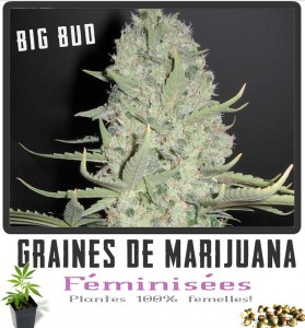 Graine de cannabis feminisëe BIG-BUD