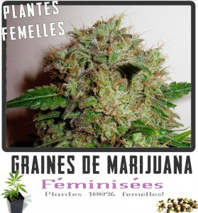 Graines cannabis feminisee K-train