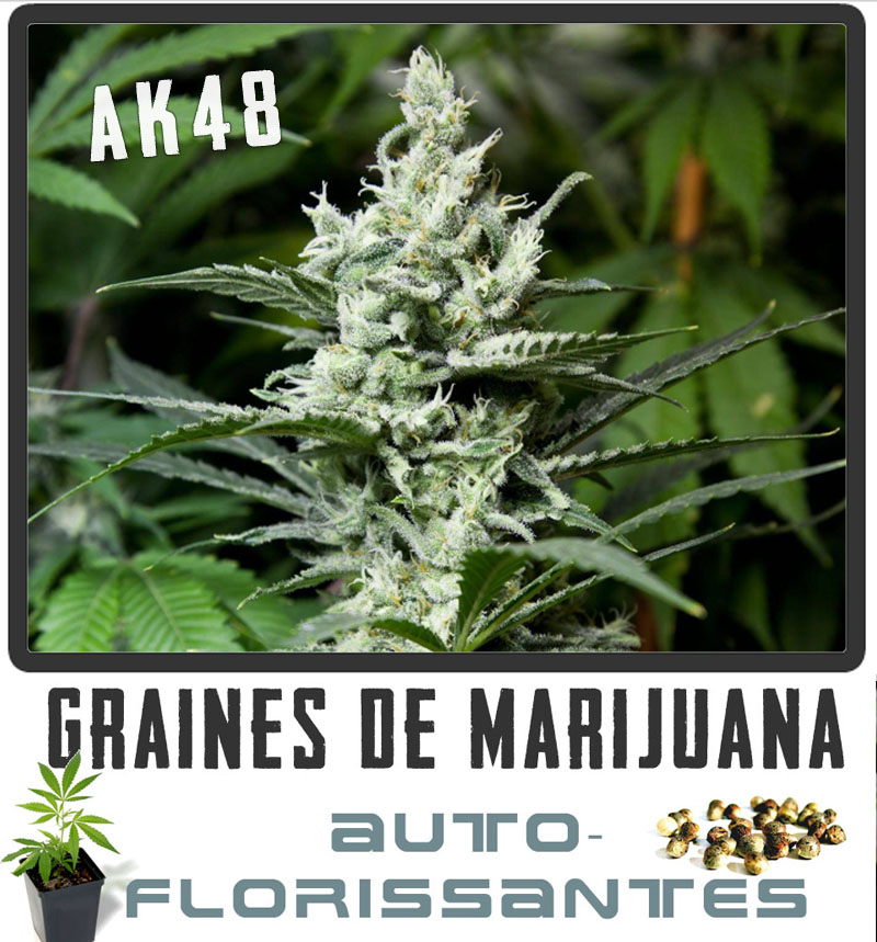 Graines graines de marijuana for Ou planter du cannabis en exterieur