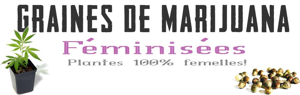 graines-de-cannabis-feminisees