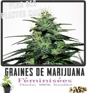 Graines de marijuana féminisées