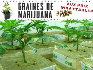 hydro-cannabis-laine-de-verre