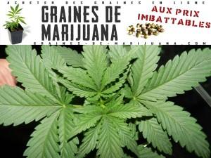 jeune-plante-de-marijuana