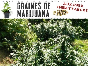 marijuana-exterieure-france