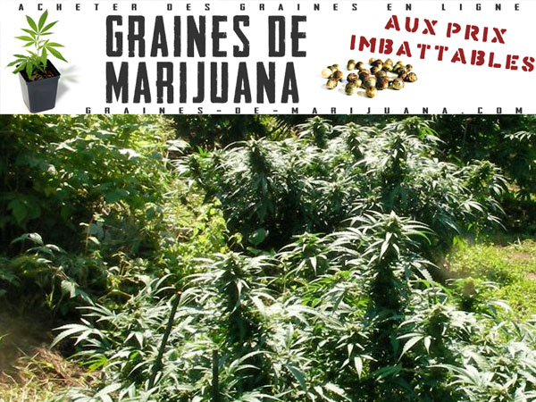 Planter du cannabis l ext rieur graines de marijuana for Plante cannabis interieur