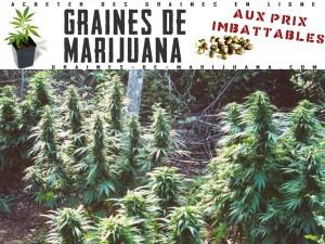 marijuana-plante-dehors