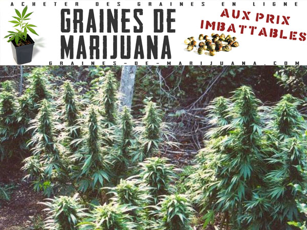 Guides de culture du cannabis graines de marijuana for Graine cannabis femelle exterieur