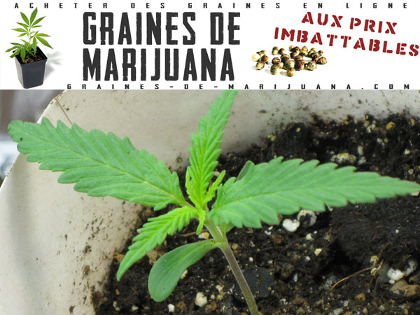 Lumi re graines de marijuana for Pousse de cannabis en interieur