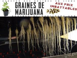 racines-hydro-cannabis