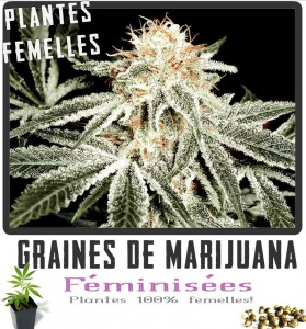 Graines de White Widow Cannabis Féminisées